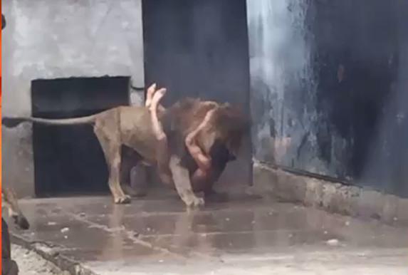 Dois leões são mortos após rapaz atirar-se em jaula, no Chile
