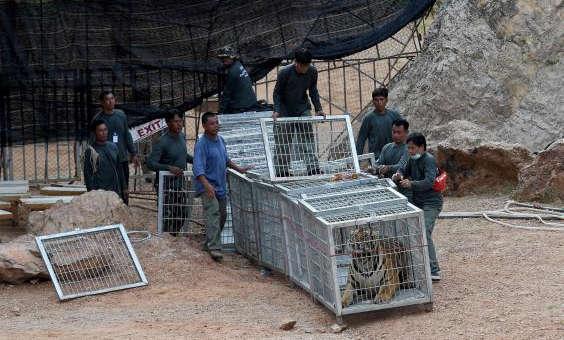 Quarenta filhotes de tigre achados congelados em Templo