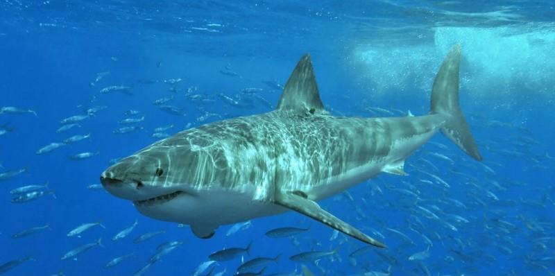 """Duas pessoas são mortas, em uma semana, por tubarão """"gigante"""", na Austrália"""