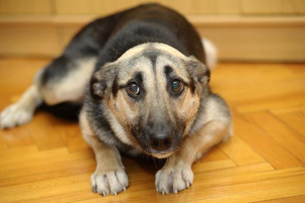 Medicamento promete ajudar cachorros com fobia a barulho