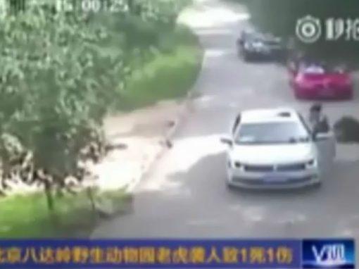 Mulher sai do carro, é atacada por tigre em safari e morre