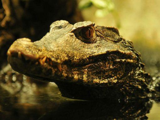 Vândalos invadem escola e soltam crocodilos em sala