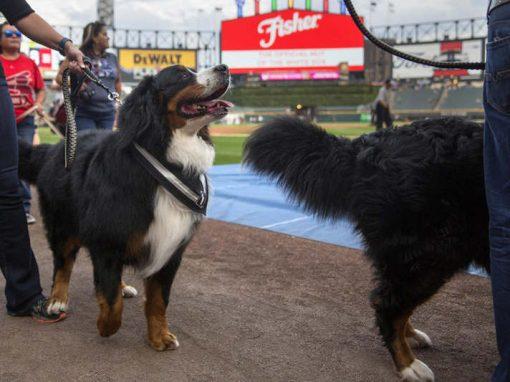 Partida de beisebol tem mais de mil cães assistindo ao jogo