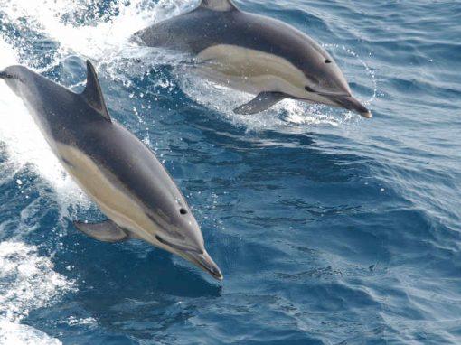 Golfinhos se comunicam de forma similar aos humanos
