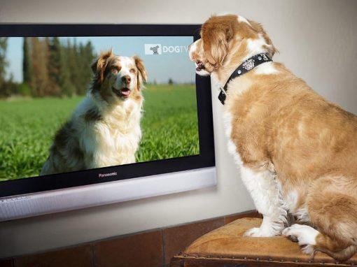 Cães gostam de se ver na televisão
