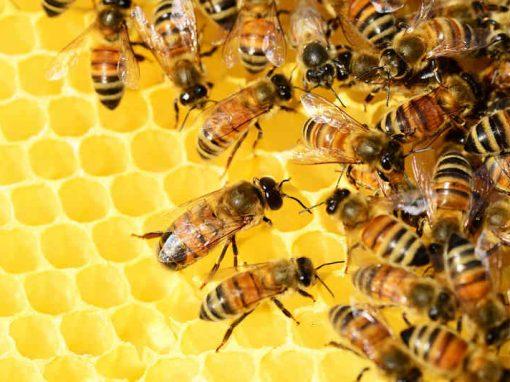 Abelhas entram para a lista de espécies em extinção
