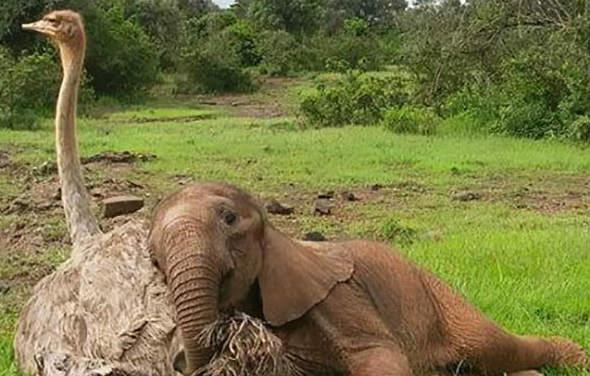 Bebê elefante orfão se torna o melhor amigo de uma avestruz