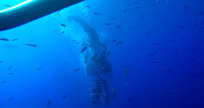 Tubarão branco invade gaiola com quatro mergulhadores