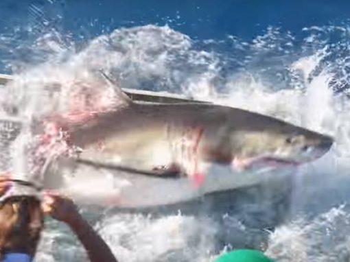 Vídeo flagra tubarão invadindo gaiola de mergulhador