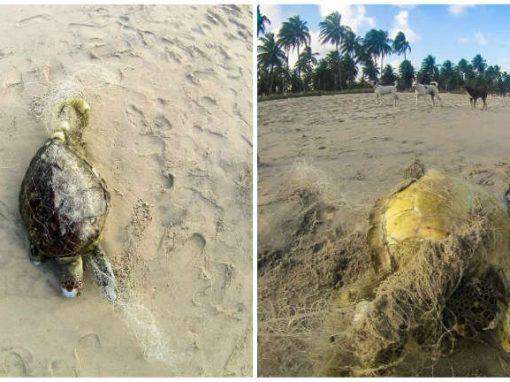 Cresce número de tartarugas marinhas mortas em Ipojuca, afirma ONG