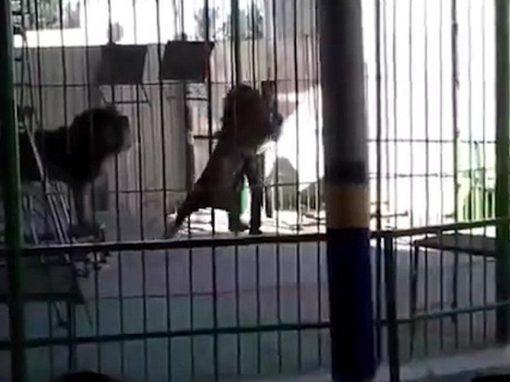 Vídeo registra leão atacando treinador em circo do Egito