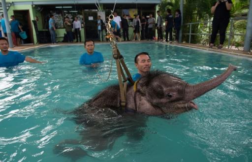 Elefanta mutilada faz hidroterapia para voltar a andar