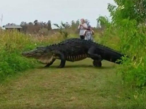 Vídeo mostra jacaré gigante saindo de um pântano