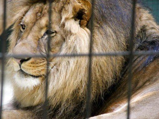Leão ataca cuidadores durante preparação para ensaio fotográfico