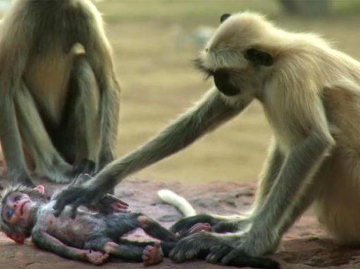 Vídeo mostra macacos chorando morte de filhote robótico