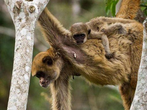 Surto de febre amarela mata macacos em risco de extinção