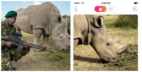 Último rinoceronte-branco do mundo está no Tinder para salvar espécie