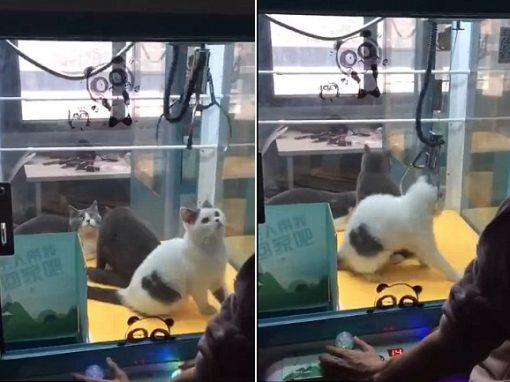 """Gatos são colocados como """"prêmio"""" dentro de máquina"""