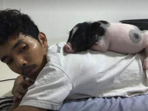 Mini-porco cresce além do esperado e surpreende dono