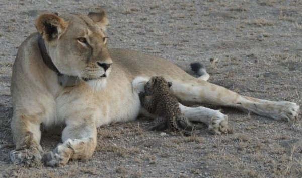 Em acontecimento inédito, leoa adota e amamenta filhote de leopardo