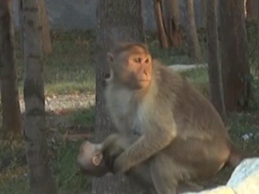 Macaca comove ao carregar corpo de filhote morto por dias