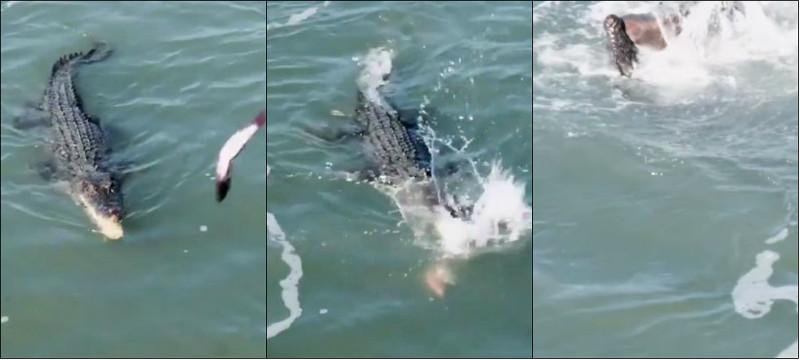 Vídeo flagra disputa por peixe entre crocodilo e tubarão