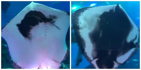 Arraia devora lula e provoca gritos de pânico em aquário japonês