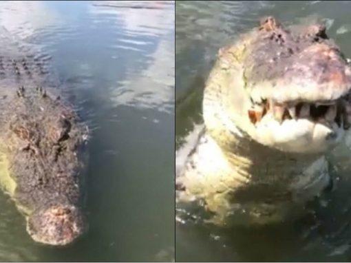 Crocodilo de 5 metros tenta atacar homem que o filmava