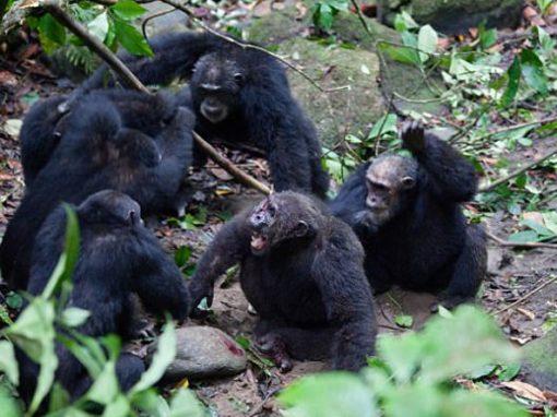 Vídeo mostra golpe de grupo de chimpanzés ao atacar e tirar macho-alfa de liderança