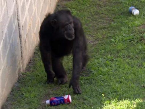 Chimpanzé recebe habeas corpus na Justiça e vem viver no Brasil