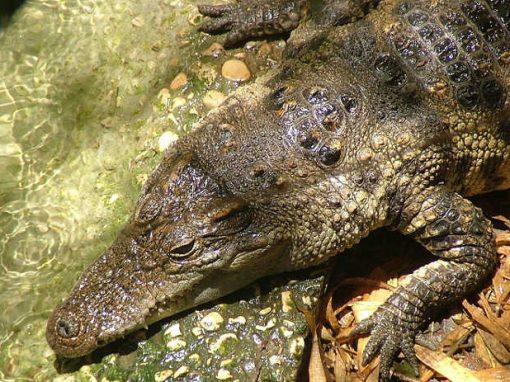 Fuga em massa de crocodilos termina com super operação de resgate
