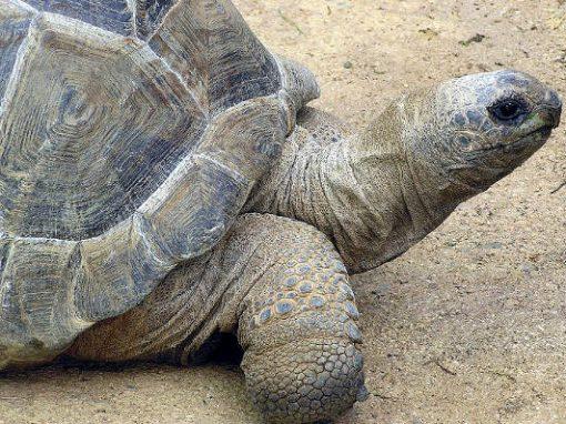 """Em busca de """"namorada"""", tartaruga foge de casa e percorre 10km até zoo"""