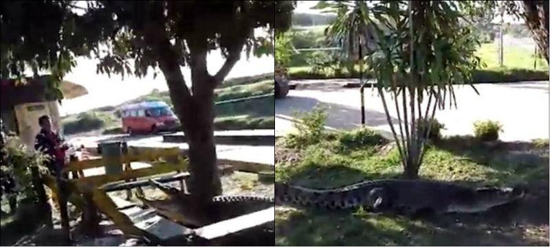 Trabalhadores espantam crocodilo de terreno com escavadeira