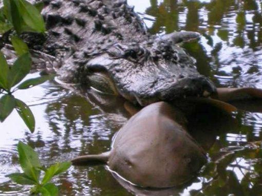 """Inusitada """"briga"""" entre tubarão e crocodilo é registrada por cientistas"""
