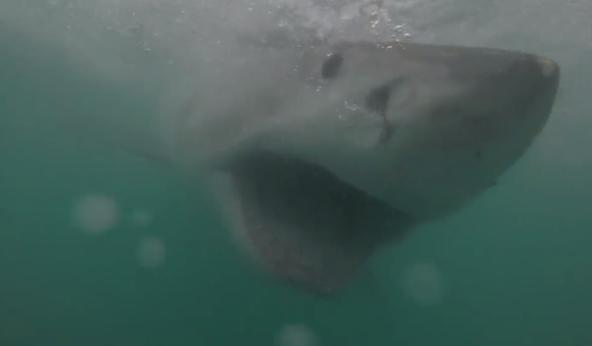 """Mergulhador filma encontro com tubarão branco para """"educar"""" público"""