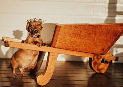 Grávida, cadela ganha ensaio fotográfico profissional