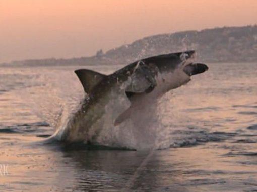 Em registro raro, tubarão branco pula para fora d'água em busca de presa