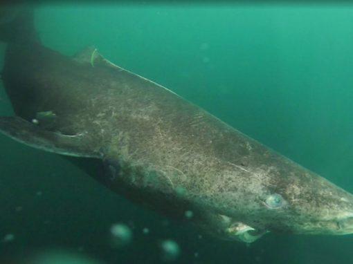 """Encontrado """"tubarão mais velho do mundo"""", com mais de 500 anos"""