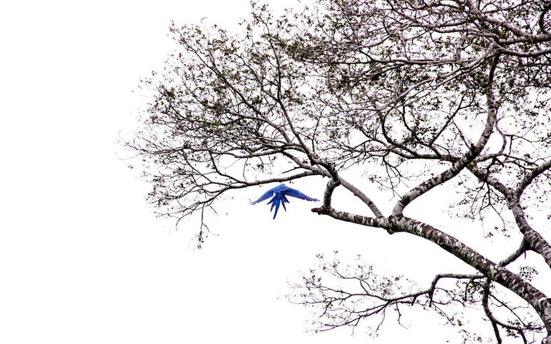 Os novos voos da arara-azul