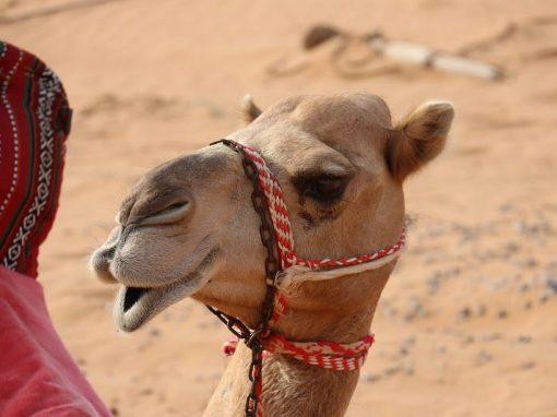 Doze camelos são expulsos de concurso de beleza por uso de botox
