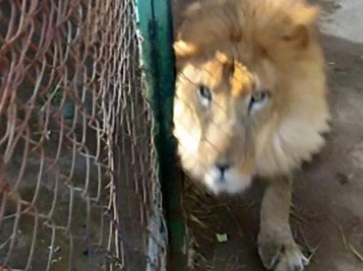 Funcionário de zoo é morto por leão após esquecer jaula aberta